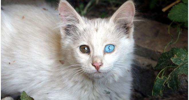 Yüksekova'da kahverengi bir sokak kedisi Van kedisi doğurdu