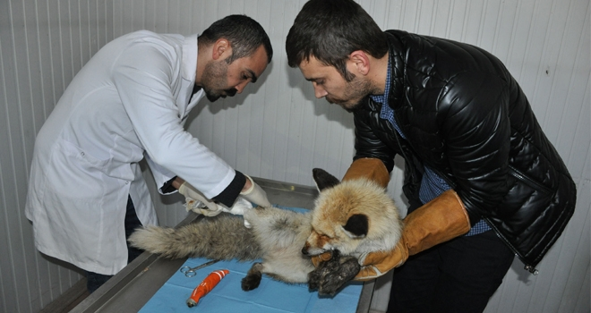 Vatandaşların bulduğu yaralı tilki tedaviye alındı